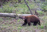 This cinnamon boar was roaming the Lamar Canyon.