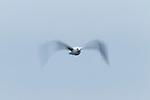 Herring Gull (Larus argentatus) flying, Santa Cruz, Monterey Bay, California