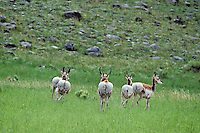 Small Pronghorn antelope herd in early summer.  Animals are loosing their winter coats (shedding) and flashing their white rump hairs--warning signal.