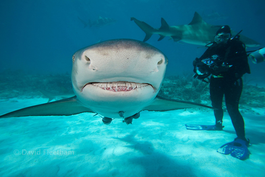 A photographer/diver (MR) looks on at this lemon shark, Negaprion brevirostris, underwater with remoras, West End, Grand Bahamas, Atlantic Ocean.