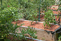 Peppers growing in raised beds of wood in vegetable garden