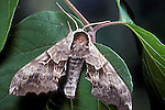 Twin-Spooted, Sphinx Moth, Smerinthus jamaicensis
