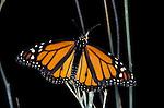 Monarch (Danaus plexippus) Arizona, Canelo Hills Cienega male