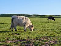 Rinder auf dem Oberland, Insel Helgoland, Schleswig-Holstein, Deutschland, Europa<br /> Cattle, Oberland, Helgoland island, district Pinneberg, Schleswig-Holstein, Germany, Europe