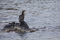 Kormoran, Phalacrocorax carbo, Great Cormorant, great black cormorant, black cormorant, large cormorant, black shag, le Grand Cormoran, le Cormoran commun