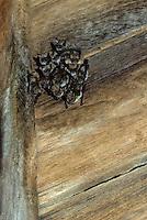 Ingekorven vleermuis (Myotis emarginatus) kolonie