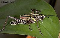 0722-07nn  Eastern Lubber Grasshopper - Romalea guttata  © David Kuhn/Dwight .Kuhn Photography