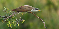 Slow moving & secretive, the Yellow-billed Cuckoo is sometimes called the raincrow because its song is often heard just before thunderstorms or summer showers. But this rare bird raises its voice less and less often in eastern North America and has been entirely eradicated from most of its riparian habitat west of the Continental Divide. Currently, 95 percent of western yellow-billed cuckoos have been extirpated due to logging, water diversion, and suburban sprawl. As few as 40 breeding pairs may be all that remain in California..