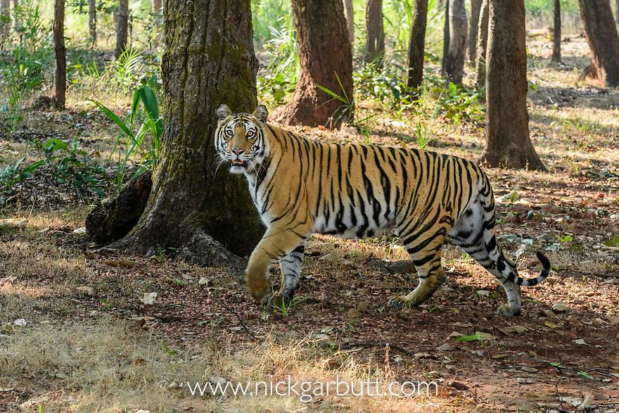 Female Bengal tiger (Panthera tigris tigris) walking through sal (Shorea robusta) forest. Bandhavgarh National Park, Madhya Pradesh, Central India.