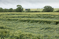 Lodged Winter Barley<br /> ©Tim Scrivener Photographer 07850 303986<br />      ....Covering Agriculture In The UK....