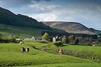 Jersey cows grazing, Dunsop Bridge, Lancashire.