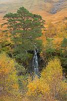 Waterfall and Scotch Pine, Glencoe, Scotland