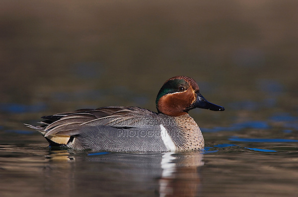 Green-winged Teal, Anas crecca, adult male swimming, Hill Country, Texas, USA