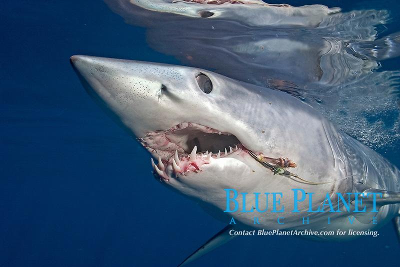 female Mako Shark, Isurus oxyrinchus, trailing hook and fishing line, Cape Point, South Africa