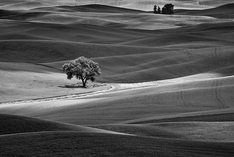 Single tree in farmland of the Palouse, Washignton
