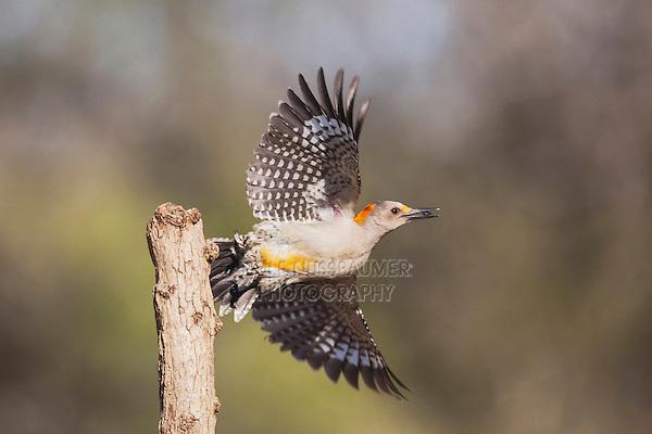 Golden-fronted Woodpecker (Melanerpes aurifrons), female taking off, Sinton, Corpus Christi, Coastal Bend, Texas, USA