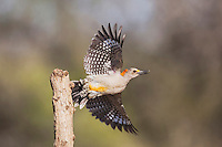 Golden-fronted Woodpecker (Melanerpes aurifrons), female taking off, Sinton, Corpus Christi, Coastal Bend, Texas, USA