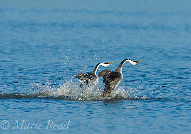 "Western Grebes (Aechmophorus occidentalis), pair performing ""rushing"" display, California, USA"
