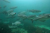 Köhler, Seelachs, Schwarm, Fischschwarm, Pollachius virens, Saithe, colin, lieu noir, grelin