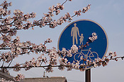 Cherry blossoms (sakura) reaching out in front of a traffic sign warning of pedestrians in Japan.
