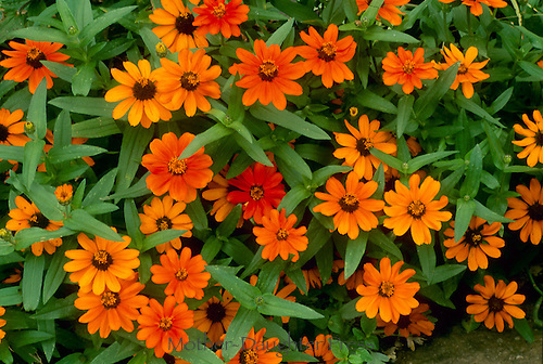 Narrow leaf Zinnias Profusion Orange,Mo.