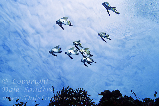 Juvenile Round Batfish ( Platax orbicularis) underwater in the Celebes Sea at Sipidan Island off Borneo in Malyasia.