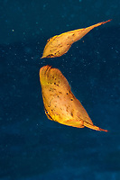 juvenile round batfish or spadefish, Platax orbicularis, with reflection at surface, Madang, Papua New Guinea, Pacific Ocean