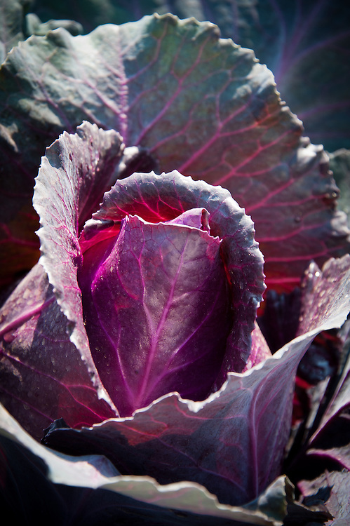 Red pointed cabbage 'Kalibos', early July.