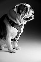 Champ mascot bulldog--studio white background (photo by Megan Bean / © Mississippi State University)