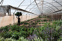 Vegetables production, labur working in greenhouse