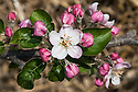 Blossom of Apple 'Jonagored', late April. A sport of 'Jonagold' discovered in Belgium and introduced commercially in 1985.