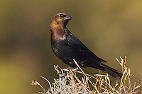 Brown-headed Cowbird, Molothrus ater, male, Uvalde County, Hill Country, Texas, USA