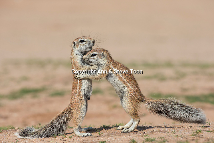 Young ground squirrels (Xerus inauris), Kgalagadi Transfrontier Park, Northern Cape, South Africa, January 2017