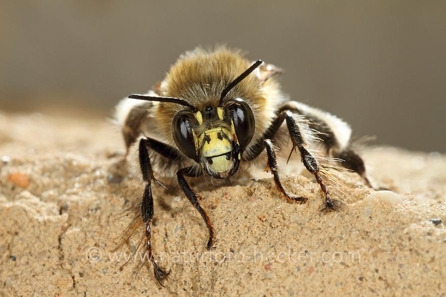 Gemeine Pelzbiene, Pelz-Biene, Frühlings-Pelzbiene, Frühlingspelzbiene, Anthophora acervorum, Anthophora plumipes, common Central European flower bee