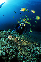A diver (MR) is joined by milletseed butterflyfish (endemic) Chaetodon miliaris at a green sea turtle Chelonia mydas cleaning station. Hawaii.