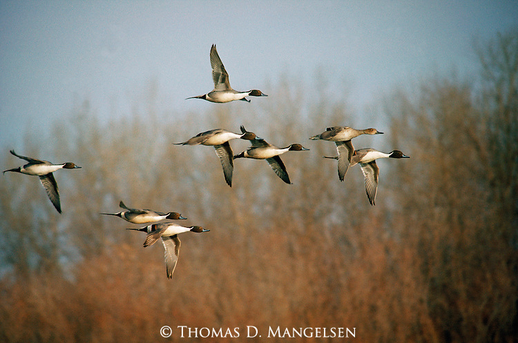 Pintails fly over the Platte River.