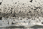 sooty shearwaters, gulls and brown pelicans in Aptos