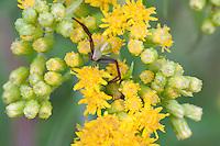 Crab Spider hides in goldenrod flowers; PA, Ambler; Gwynedd Wildlife Preserve;