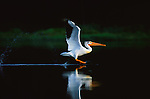 A white pelican is reflected in the still water as it glides in for a landing.