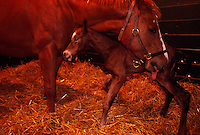 A mare licks her newborn foal in the barn after giving birth on a Kentucky horse farm.