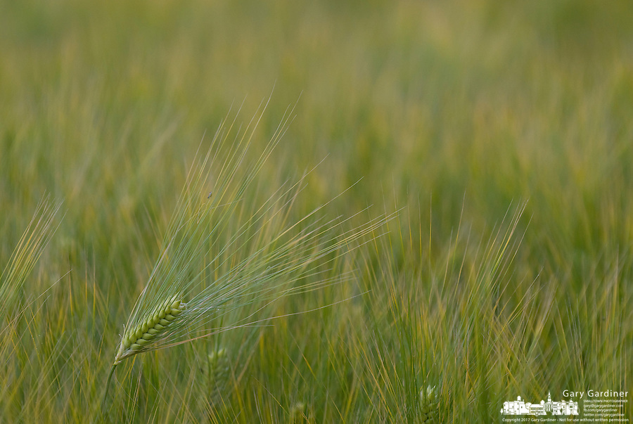Winter wheat begins to ripen in a field.