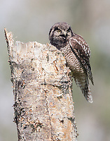 A female Northern Hawk Owl begs for her mate to feed her so she can feed their fledgling.