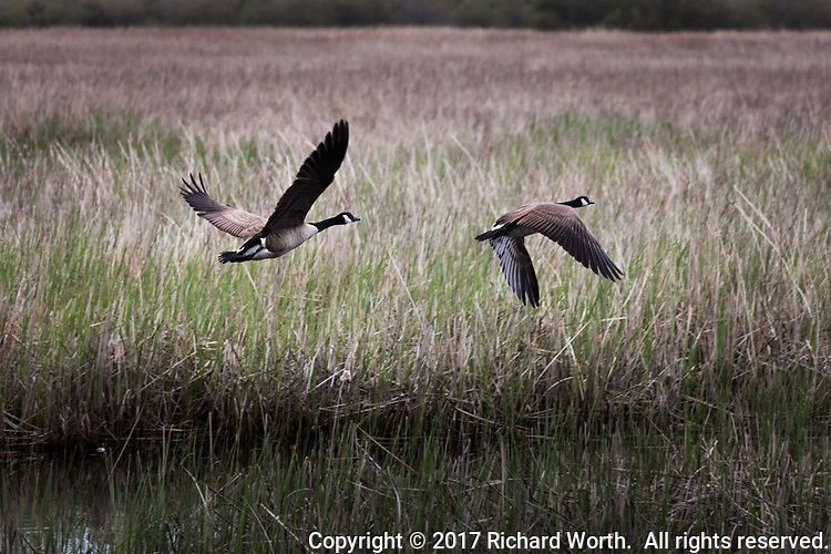 Two Canada geese take to the air over wetland at the Coyote Hills Regional Park.