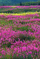 Field of fireweed in summer bloom, Livengood, Alaska