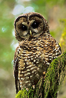 Spotted Owl, Washington