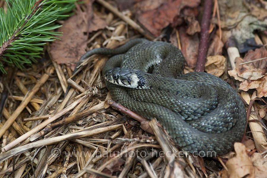 Ringelnatter, Ringel-Natter, Natter, sonnt sich auf einem aufgewärmten Komposthaufen, Natrix natrix, Grass Snake, Couleuvre á collier