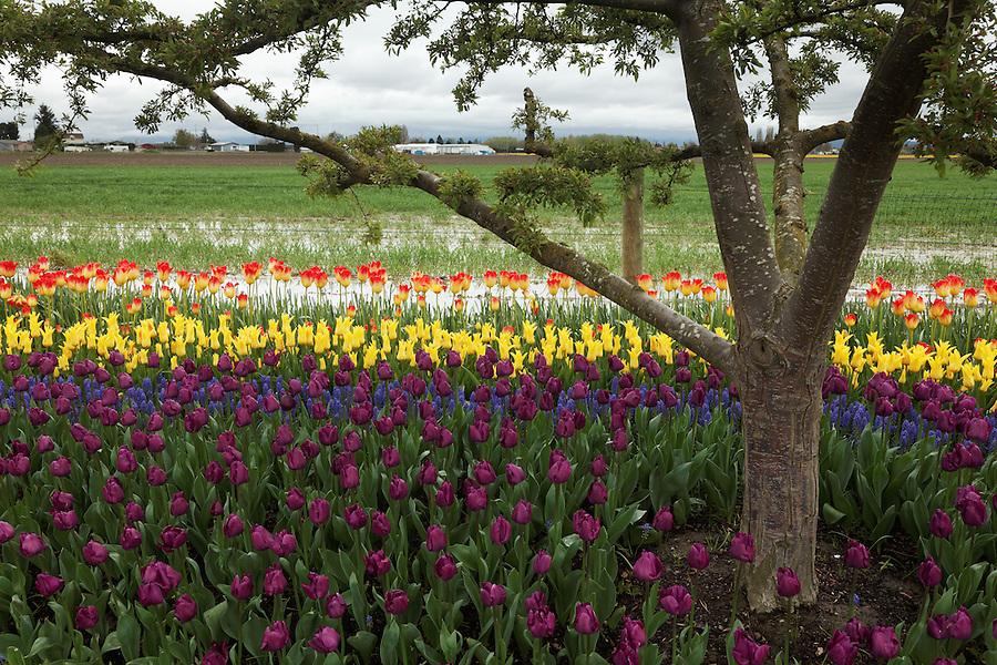 Variety of tulips, Roozengaarde gardens, Mount Vernon, Skagit Valley, Washington, USA