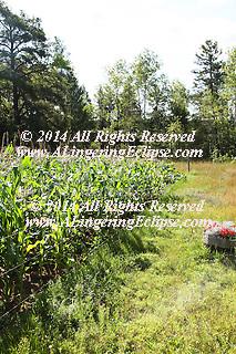 Rural Forest Home Garden of Corn IMG_6415.jpg