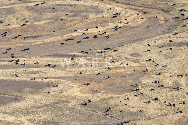Grazing cattle near Manassa, Colorado.  April 2015
