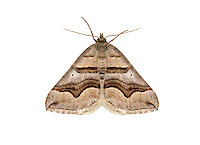 70.042 (1730)<br /> Spanish Carpet - Scotopteryx peribolata